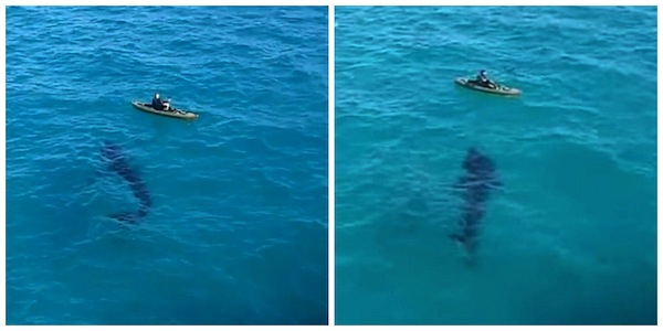 tubarão1